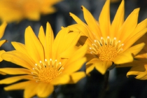 yellowflowers.jpg